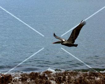 Pelican in flight with small fish, Galapagos, Ecuador.