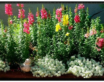 Snapdragon Flowers - organic seeds