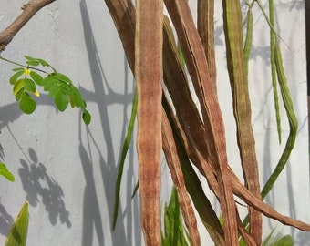 Moringa seed pods and leaves