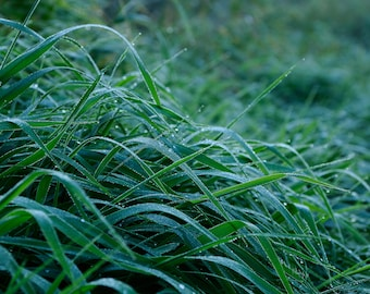 Dew on the grass in the early morning