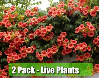 """TWO (2) Trumpet Vine Flower Live Plant STARTER PLANTS in small pot 2.5"""" x 4"""" inch plants in pots"""
