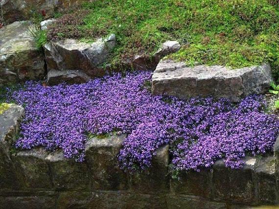 10 Periwinkle Creeping myrtle live plants purple  perennial FRESH