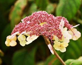 Lot of 3 photos of a variety of hydrangea serrata 'Blue Bird' to print yourself for a decoration