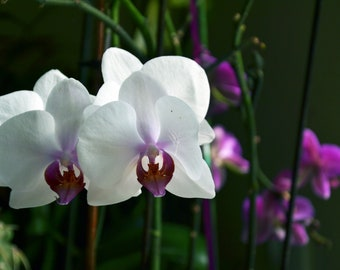 Lot of 2 photos, a white and pink orchid and its green alternative, to print yourself