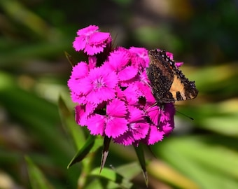 Beautiful photograph of a butterfly resting on a self-printing carnation