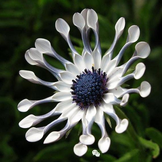 100er Blue Daisy Winterhart Pflanzen Blumen Samen Exotische Etsy