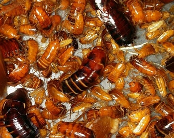 100+ Shelfordella lateralis (Red Runner Roaches) *Free Priority Mail Shipping