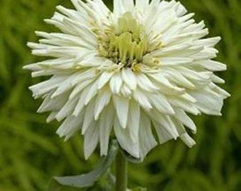 Graines de FLEURS naine blanche Zinnia Belaya annuel