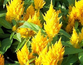 Celosia argentea plumosa Plumed Cockscomb gemischte Samen 800 samen