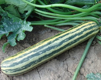 Squash Zucchini Tapir Open pollinated Seeds NON GMO for Planting | 204843