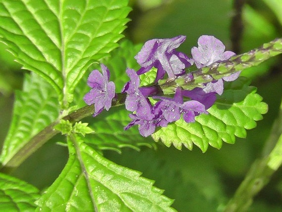 Jamaican Blue Vervain (Wildcrafted)