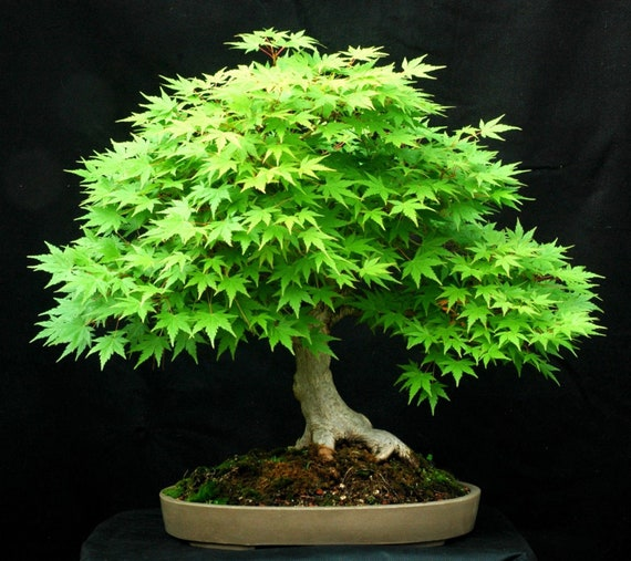 10pcs Japanese Green Maple Bonsai Tree Seeds Acer Palmatum Etsy