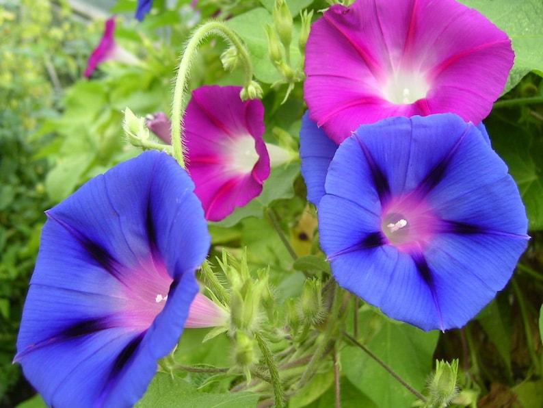 Beauty Color 100pcs Rare Morning Glory Seeds Blue Picotee Seeds Garden Seeds New