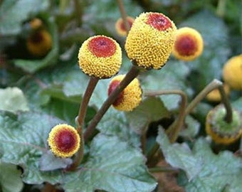 100pcs Toothache Eyeball Plant Seeds Spilanthes Oleracea Flower Seeds Red Yellow