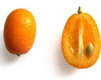 Kumquat Seeds - Nagami (15 ct) - FREE Shipping!