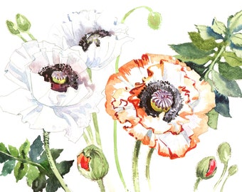 Field poppies PNG watercolor flower set