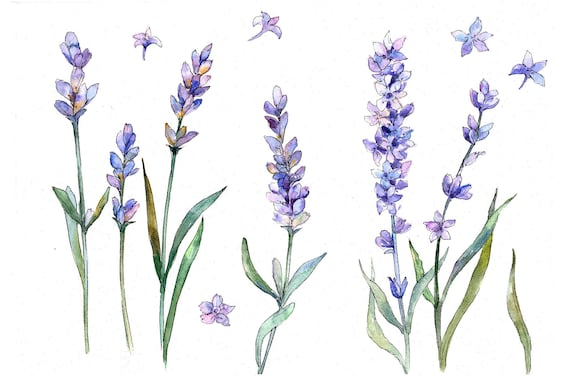 Watercolor Lavender Clipart Watercolor Flowers Hand Painted Etsy