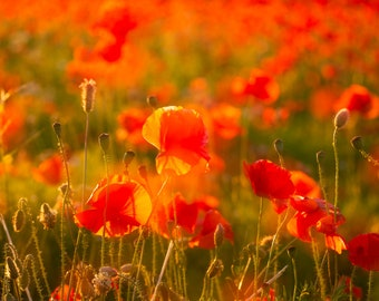 Summer in Bloom, Poppies Close Up at Sunset, Field of Poppies, Red Flowers in Italy Country, Art Decor, Artworks, Photo, Nature Photography