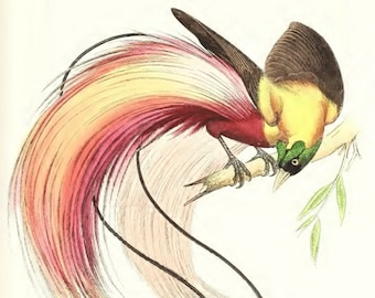 Vintage red bird-of-paradise Giclee bird print of antique illustration on 220gsm canvas paper A4 or A3