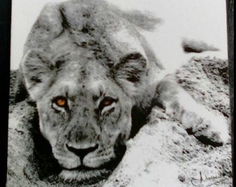 LIONESS - Black & White Block Mounted PHOTO ART Images