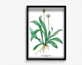 Poster A3 with wild herbs Illustration - Spitzwegerich - as mural for the kitchen