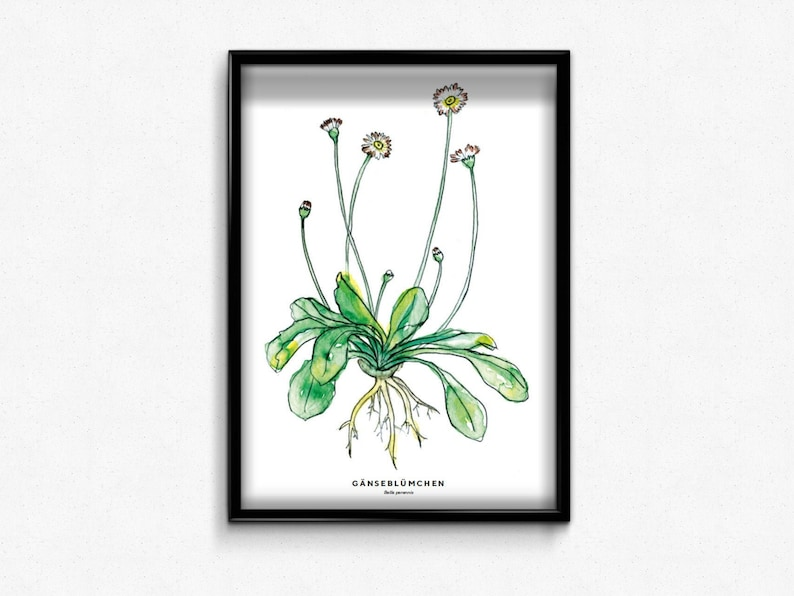 Poster A3 Daisies  Wild Herbs Illustration  Wall mural for image 0