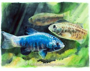 Rio Sonoyta Pupfish