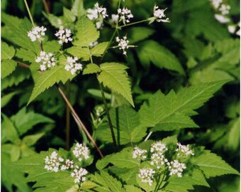 Sweet Cicely aka Sweetroot, Wild Anise, Anise Root - 30+ seeds + FREE S&H- wild harvest 2021 Osmorhiza claytonii perennial Native Wildflower