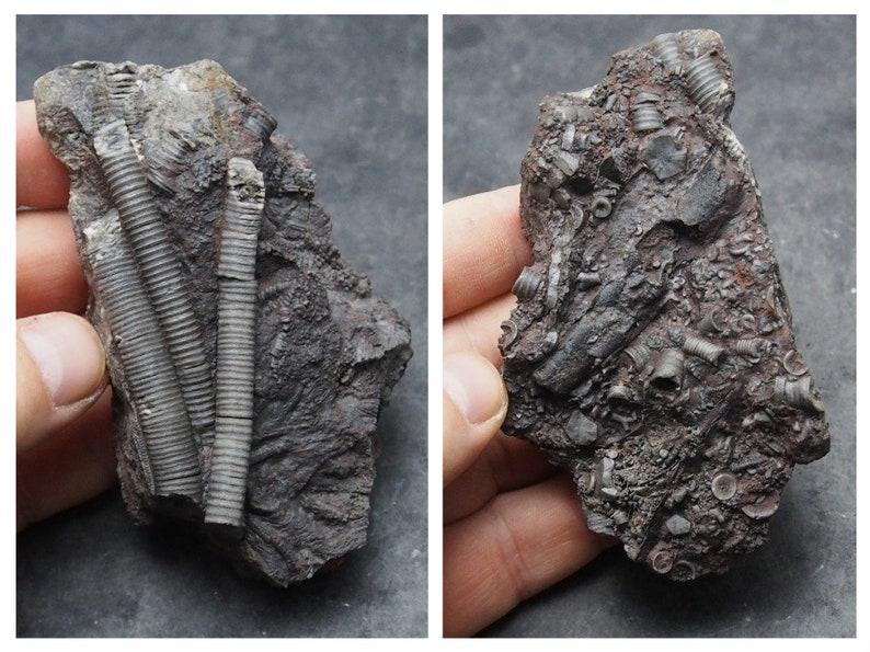 Crinoid Scyphocrinites elegans Echinoderms Fossil Natural Fossilien