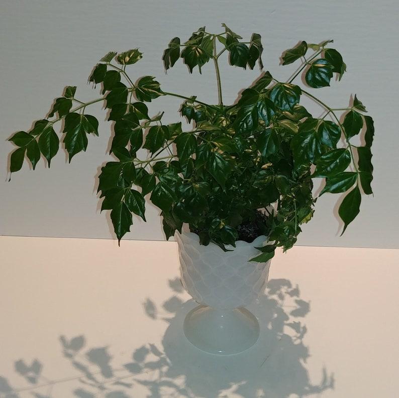 Radermachera Sinica 9 Tall Gorgeous China Doll Plant