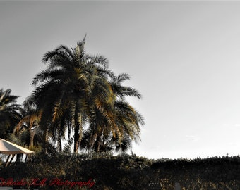 Palm Trees- Selective color, Florida, Black and White