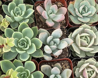 "Small 10 Plant - ""All Rosette Mix"" in pot"