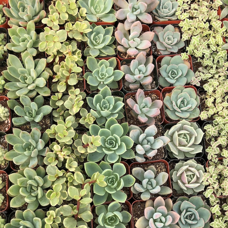 Small 10 Plant All Rosette Mix in pot