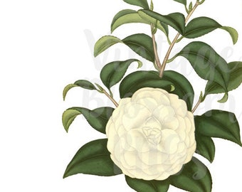Camellia ClipArt Botanicals Digital Download Flower Clip Art for Invitations, scrapbook, Card making, collage, prints - 1306