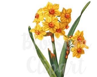 Narcissus Clipart for Invitations, scrapbook, Card making, collage, prints Digital Download - 1564