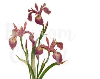 PNG Florals, VIntage FLower CLipart for invitations, collages, scrapbook, prints - 1475