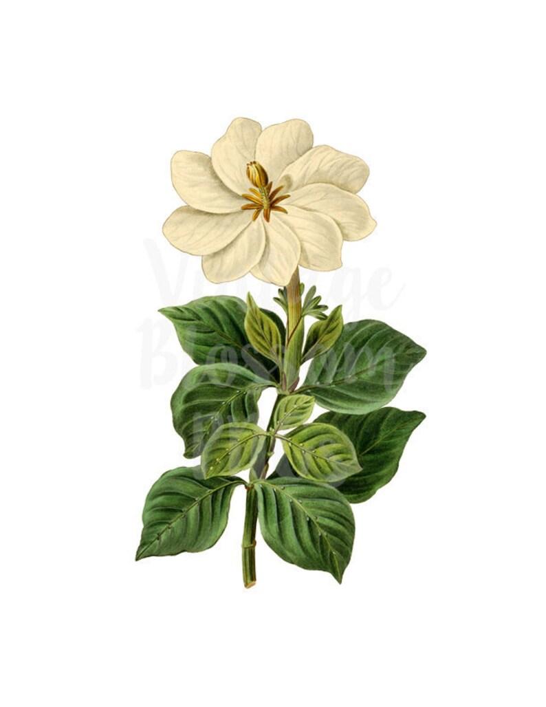 314161439931 White Flower PNG Vintage Image FLoral Digital DOwnload for