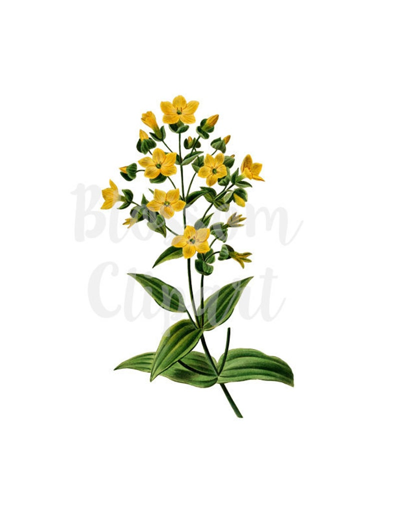 prints Digital Download scrapbook collage Clipart Flower Botanical Vintage Clipart for Invitations 1570 Card making
