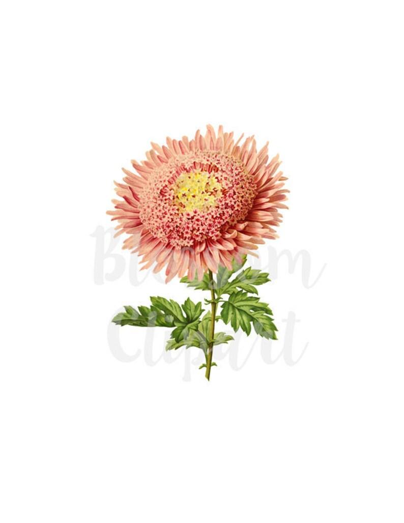 collage prints scrapbooking Pink Flower Clip Art for invitations Digital Download Vintage Illustration CLip Art- 2132