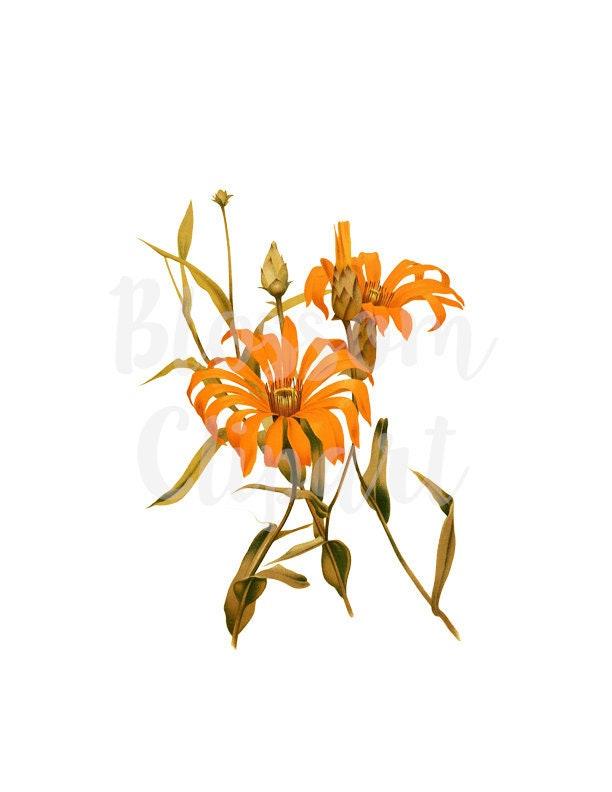 Orange Flower Clipart Botanical Illustration Digital Instant