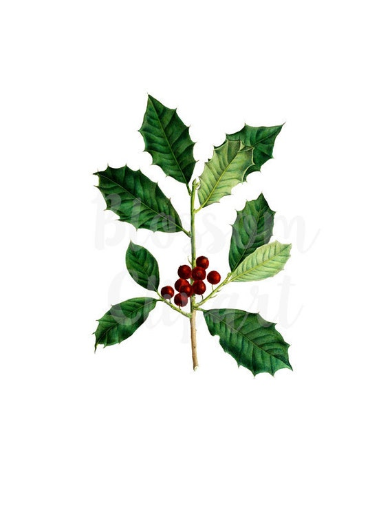 Christmas Holly Clipart Png.Christmas Holly Clipart Digital Download Clip Art Antique Illustration Vintage Graphic 1407