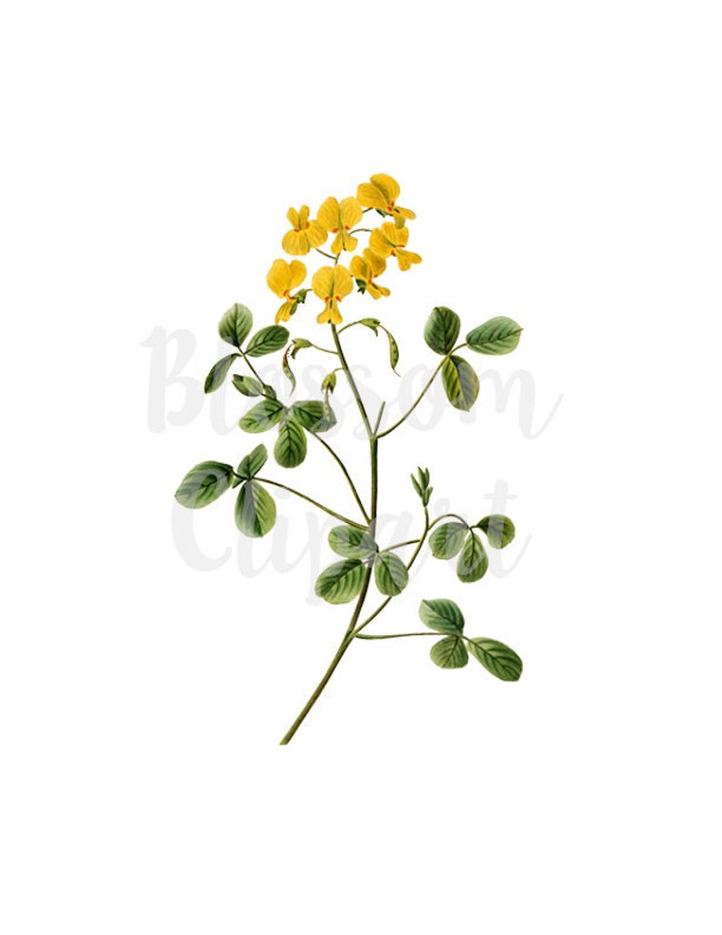 Yellow Floral Clipart for invitations 1570 Clipart Flower prints collage Vintage Botanical Flower