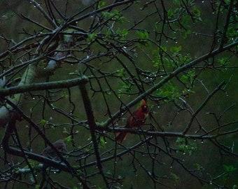Cardinals After the Rain