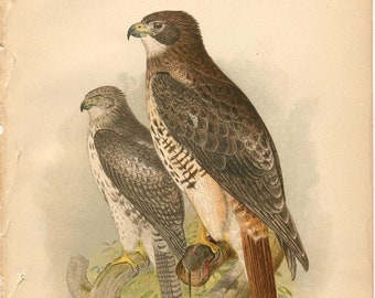 Red Tailed Hawk. The Hawks and Owls of the United States, Digital Bird Prints, Bird Prints