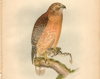 Red Shouldered Hawk. The Hawks and Owls of the United States, Digital Bird Prints, Bird Prints