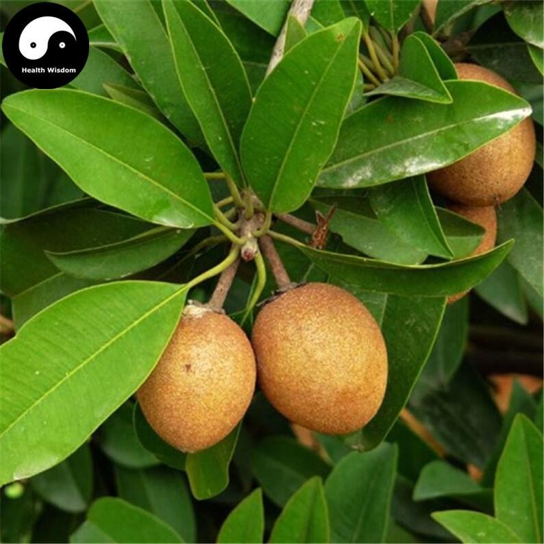 Sapodilla Fruit Pics