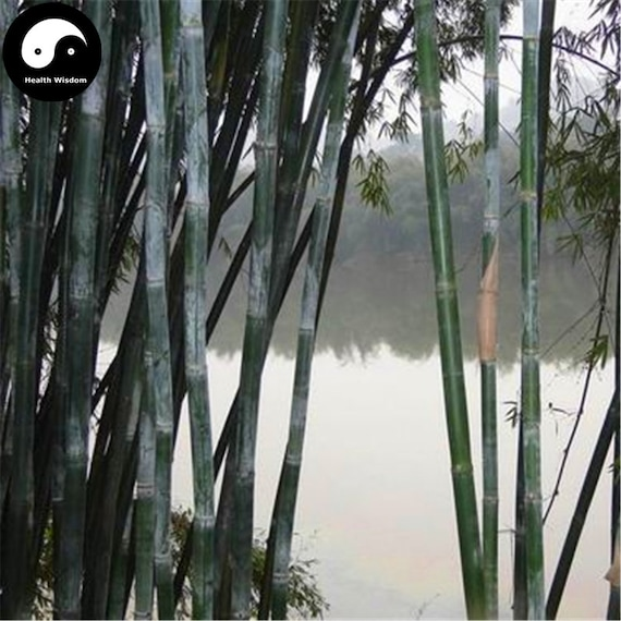 Buy Ci Bamboo Tree Seeds Plant Chinese Bamboo For Bamboo Etsy
