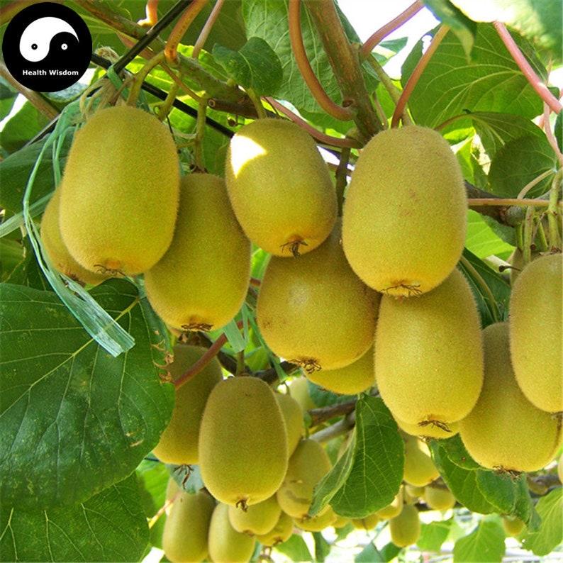 Top Kiwi Frucht Baum Samen Pflanze Schnitt Chinensis für Obst Kiwi | Etsy &EZ_26
