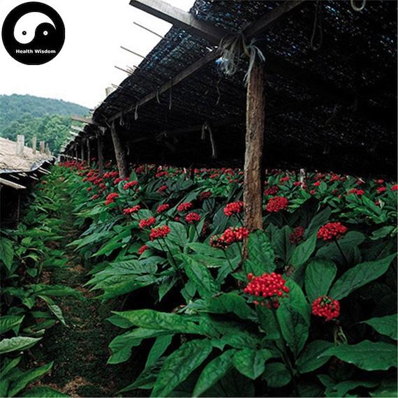 100 PCS Seeds Angelica Sinensis Dang Gui Medicinal Plants  Flowers Bonsai Rare N