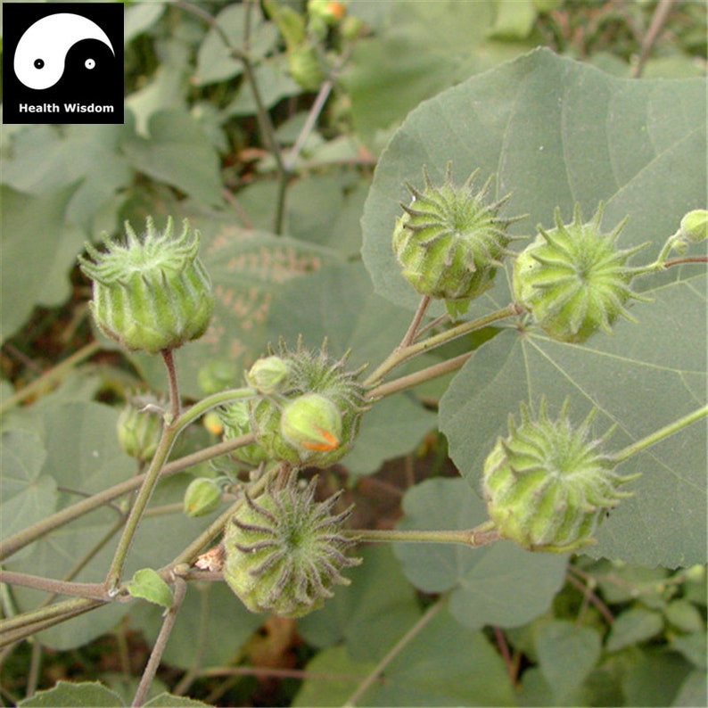 Buy Chingma Abutilon Seeds Plant Cluster Mallow For Malvae Etsy